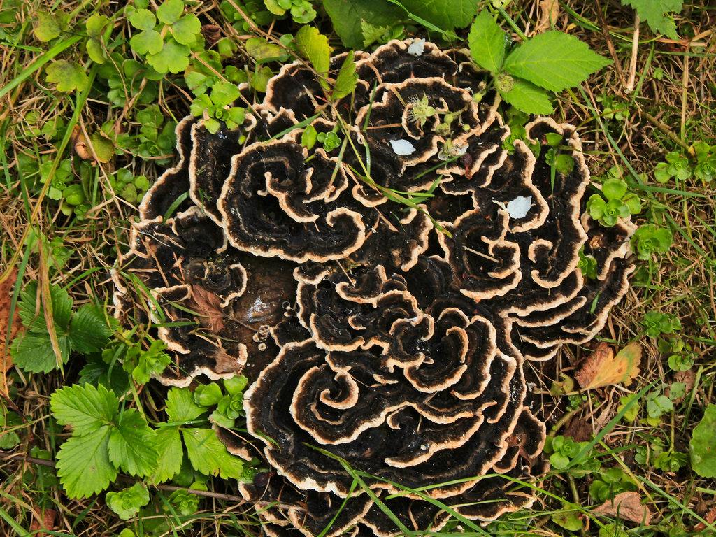Baum-Pilz am toten Holz.