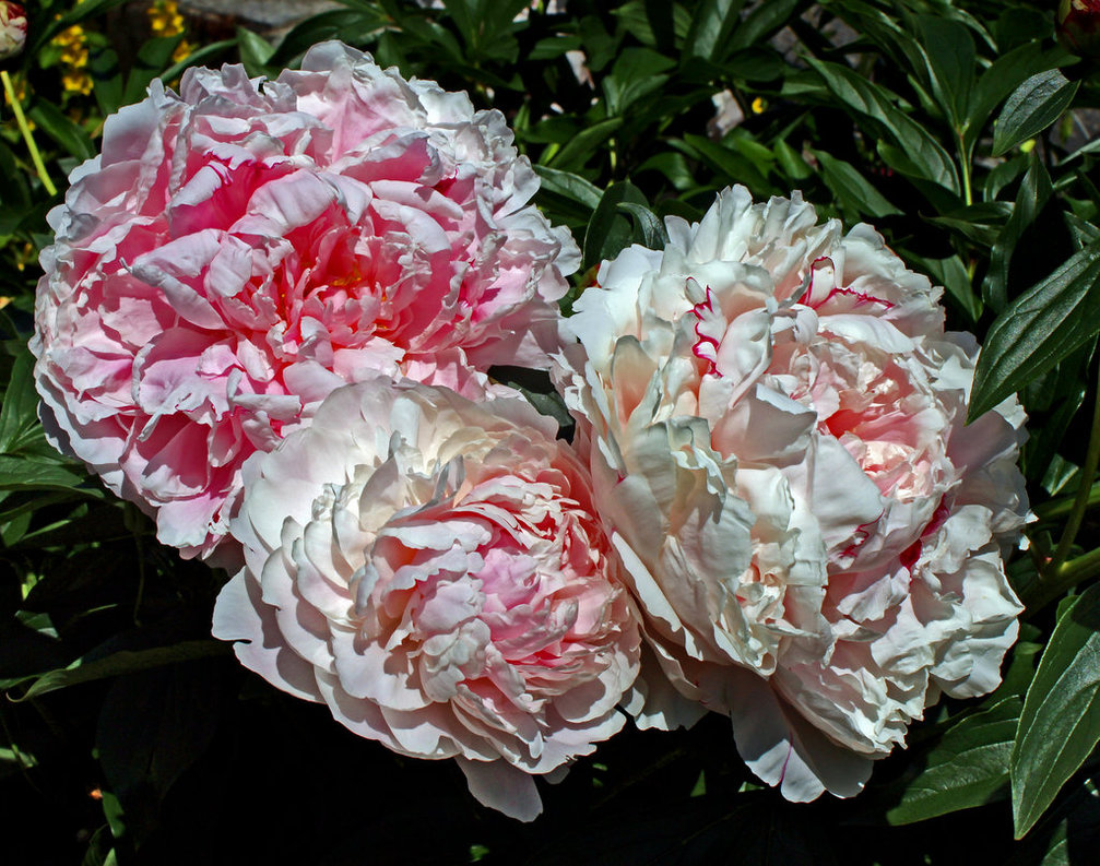 peonies_ii_by_scrano-dalm4kl