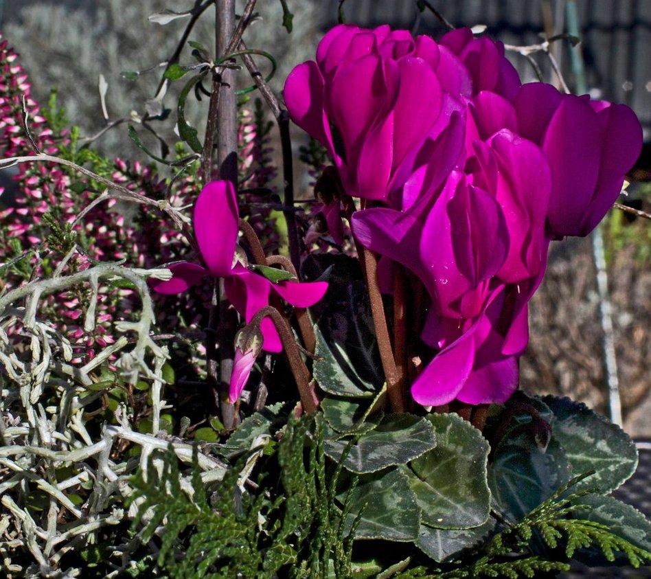 Herbstbepflanzung für Schalen und Kästen.Freiland-Alpenveilchen (Venus/Pluto) sind winterhart.