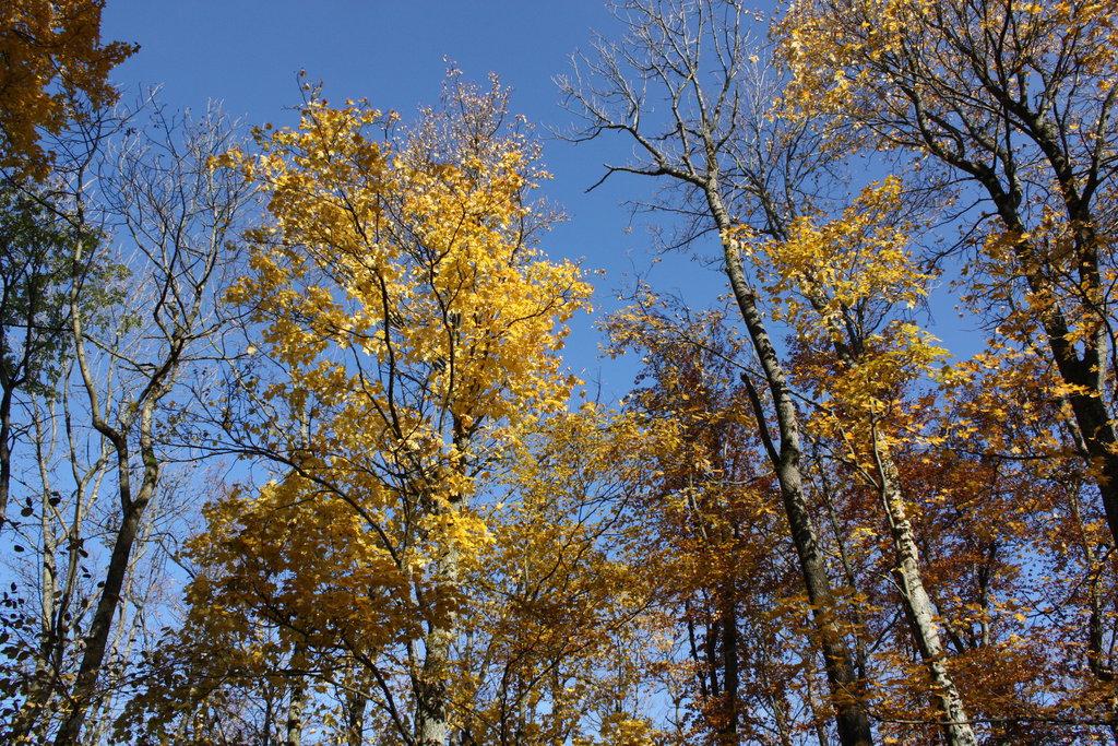 Birkengold - aus ihrem Saft wird im Frühling ein belebendes Elixir hergestellt.