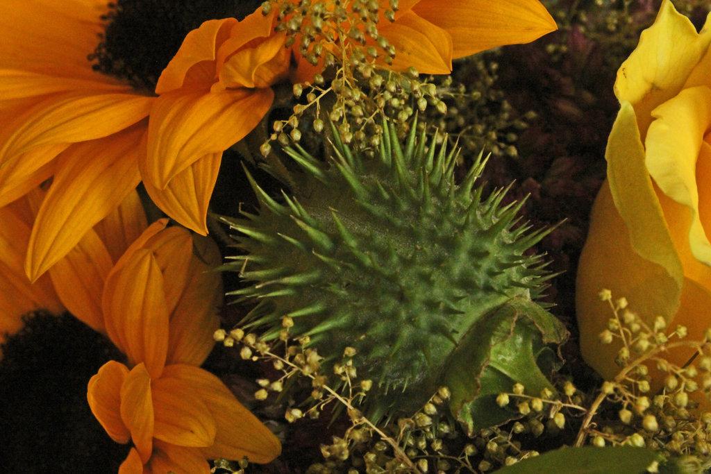 Stacheliges Rauchmittel: Der stark giftige Stechapfel, Datura stramonium.Deceptive Beauty ©beast666 2014