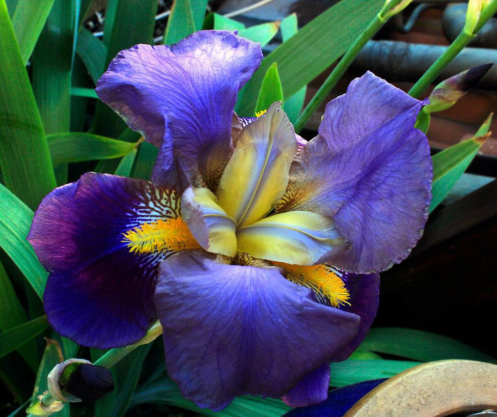 iris2_by_scrano-daax1kx