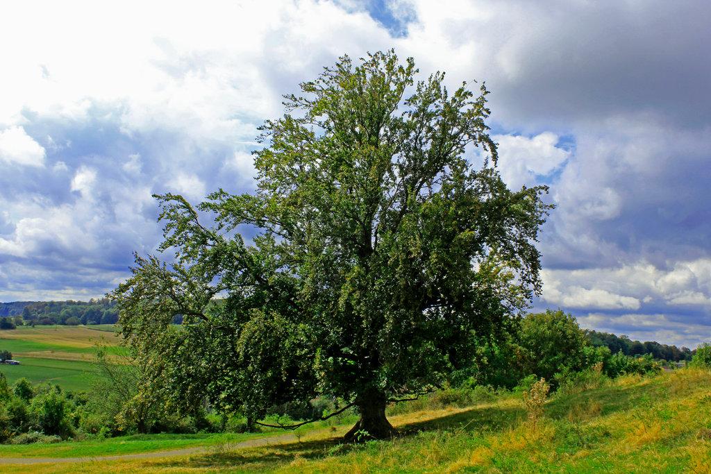 Stattliche Buche auf der Alb.Bäume tragen stets auch eine Jupiter-Signatur.