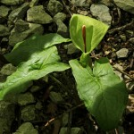 Acorum maculatum