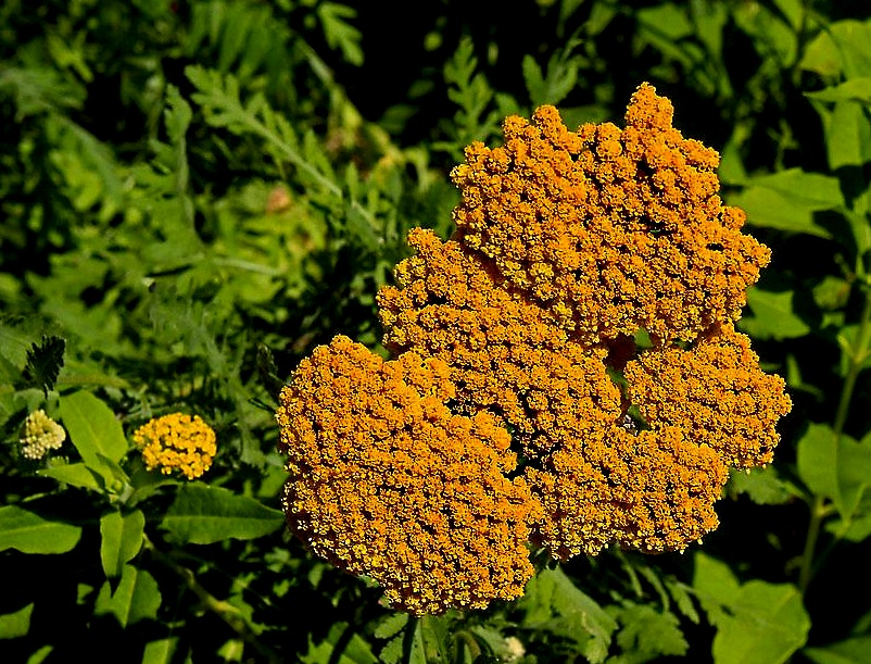 golden_yarrow_by_scrano-d934kh7