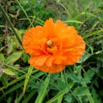 Autumn Poppy