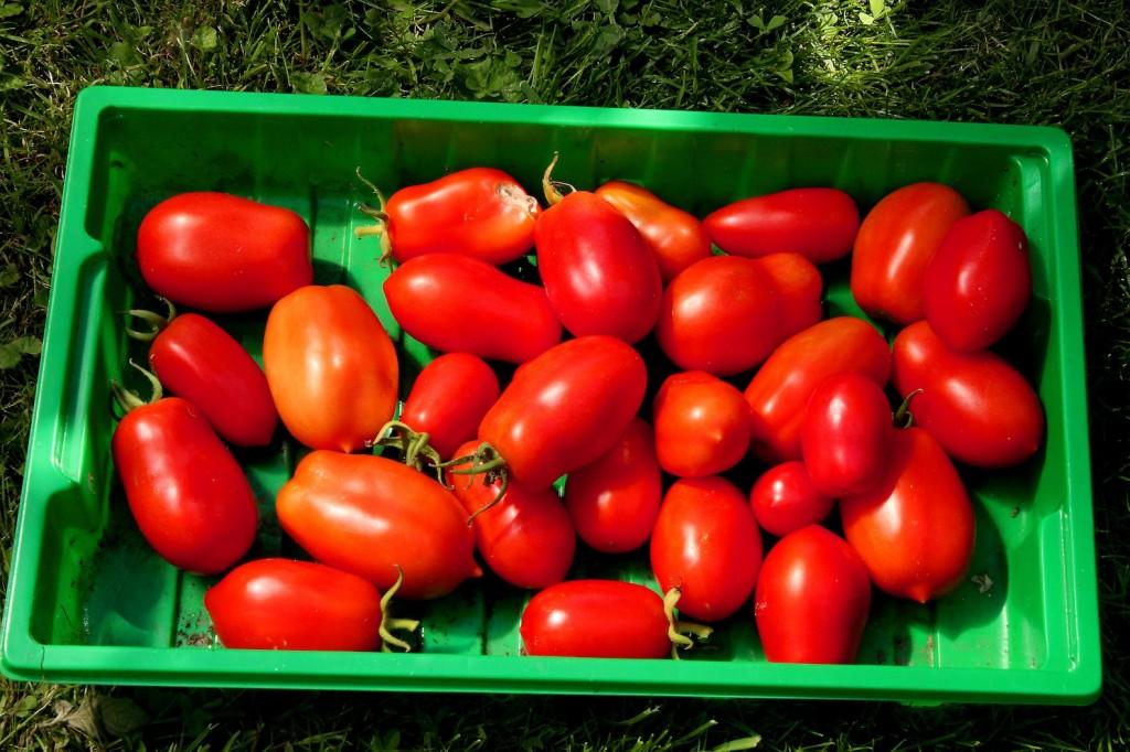 tomaten Kopie